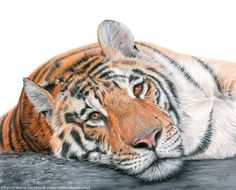 Beautiful! Artist Rachael Noble Wild will be donating a percentage from the sales of this great drawing to WWF - thank you Rachael! https://www.facebook.com/rachaelwildartist