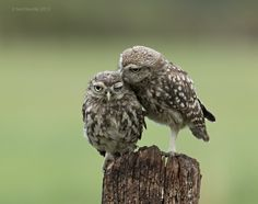 Little Owl Owlets | Explore naturenev's photos on Flickr. na… | Flickr - Photo Sharing!