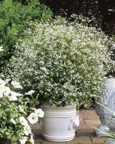 Euphorbia Diamond Frost....clouds of white flowers can fill a pot or accent a planter.