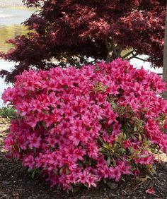 Silver Sword Azalea- low mounding azalea offers large dark pink flowers on variegated white foliage, 2-3 ft. tall and wide. Evergreen. Blooms april-may.