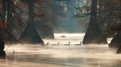 Bing Image Archive: Bernaches du Canada à Hill Lake, comté de Pulaski, Arkansas, États-Unis (© Barry Hamilton/Corbis)(Bing France)