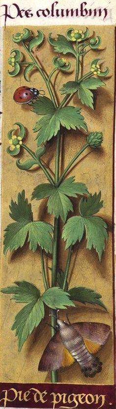 Pié de pigeon - Pes columbini (Ranunculus repens L. = renoncule pied de poule) -- Grandes Heures d'Anne de Bretagne, BNF, Ms Latin 9474, 1503-1508, f°118r