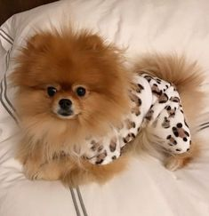 She's had a ruff day. Now she has her PJs on, would love it if you could bring her a big cup of tea ☕️ ( Meet Lily. She's had a ruff day. Now she has her PJs on, would love it if you could bring her a big cup of tea ☕️ ( Cute Funny Animals, Cute Baby Animals, Animals And Pets, Sweet Dogs, Cute Pomeranian, Cute Puppy Pictures, Cute Dogs And Puppies, Doggies, Beautiful Dogs
