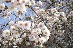 Prunus 'Hally Jolivette'   Flickr - Photo Sharing!
