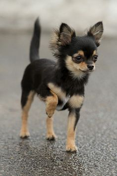 Chihuahua...this is the dog i will probably get when i have an apartment in college because most say that your dog has to be under 30 pounds or something like that and i cant imagine trying to survive through college with no dog <3