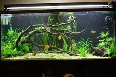75 Gallon Planted tank driftwood | Thread: 75 Gallon Discus Tank Remodel