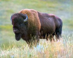 American buffalo, state animal
