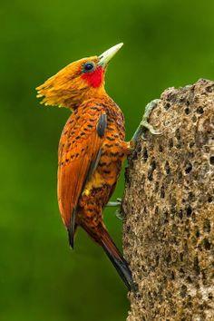 Chestnut Colored Woodpecker. SB