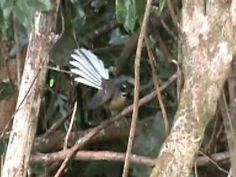 New Zealand fantail - Wikipedia New Zealand, Birds, Animals, Animales, Animaux, Bird, Animal, Animais