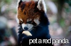 Yes...yes..yes....i would be the happiest person in the world if i could do this.....i love red pandas their so adorable!!!