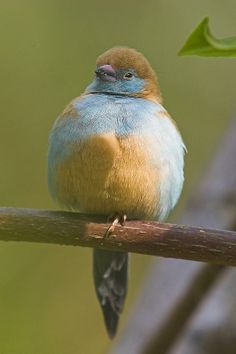 Sweet Red-cheeked Cordonbleu. A small passerine bird, this estrildid finch is a resident breeding bird in drier regions of tropical sub-Saharan Africa.