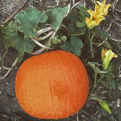 Although I celebrate year round, today is #NationalPumpkinDay!  Start the week of #Halloween on a #pumpkin note!  #pumpkineverything #pumpkinweek #pumpkinpatch #pumpkinspice #pumpkinpie #pumpkinrdn #onceuponapumpkin