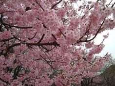 Árbol de Cerezos