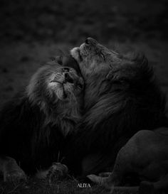 Couple De Lions Leon Pinterest Lions Wild Life And Cat - Powerful and intimate black white animal portraits by luke holas