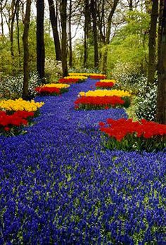 Famous planting of them at the Keukenhof Gardens in Holland which is known as the Blue River. This is a dense planting of Muscari armeniacum that winds through the Gardens, past trees, shrubs, and other spring flowers. Year after year, this is one of the most photographed scenes in this park.
