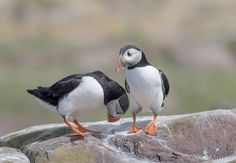 Puffin courtship . by Kevin Murray on 500px