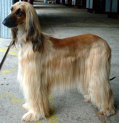 afghan hound | File:Afghan Hound.jpg - Wikipedia, the free encyclopedia