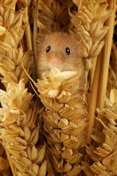 ...Souris des champs... Field-mouse