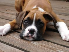 This looks a lot like Karlee(our boxer puppy). She is so cute but such a mess!