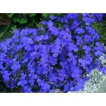 100 Sementes De Lobélia Azul Para Mudas Flores Jardim E Vaso
