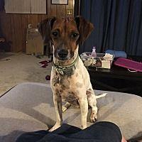 Royal Oak Michigan Jack Russell Terrier Meet Duke A For