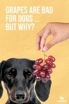We know grapes are bad for dogs...  But what about other grape products?  Grapeseed oil and grape seed extract can provide your dog with some interesting health benefits…