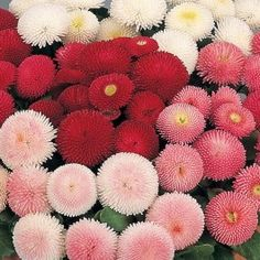 Bellis perennis English Daisy Flower 100 Seeds / Bag Lawn Daisy Easy to grow from seed Dwarf Bonsai Flower Gravel Garden, Lawn And Garden, Home Garden Plants, House Plants, Flower Seeds, Flower Pots, Daisy Flowers, Cut Flowers, Daisies