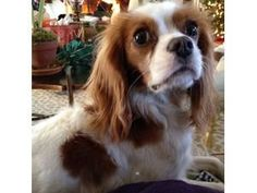 "Lost in Mt. Vernon NY ""Darby"" has been missing since 3/11/2014 Breed: Cavalier King Charles Spaniel Age: 2 years Gender: Male Coloring: Blendheim (White & Reddish-Brown) Microchip: 0a01665403  Message From the Owner: ""If found, please call Chris @ 917.691.7210 or ANDY @ 847.962.5693"""