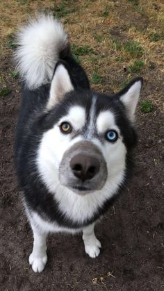 Visit My Happy Husky for all Siberian Husky Information Visit My Happy Husky for all Siberian Husky Information Huskies - My favorite Baby Animals Pictures, Cute Baby Animals, Wolf Pictures, Baby Huskies, Siberian Huskies, Husky With Blue Eyes, Wolf Husky, Beautiful Wolves, Dog Lady