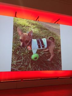 TurboRoo - the chihuahua on wheels! Read more on Life Is Most Certainly #BetterWithPets