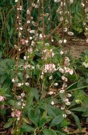 Salix caprea 'Kilmarnock' - Google Search