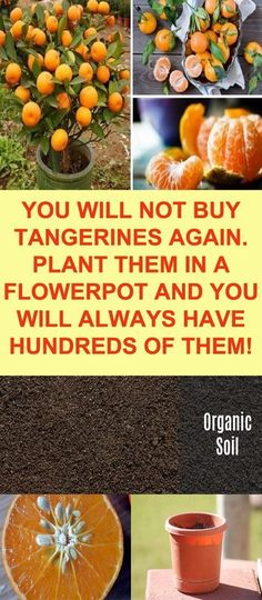 Check out this post to learn how easy it is to grow your own tangerines in a container!