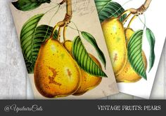 Antique Botanical Print: Golden Pear  Vintage by UpstairsCats