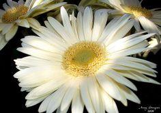 White Gerbera Daisies I