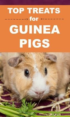 What treats can you give guinea pigs? What isn't a safe treat? Click to discover the best treats you can feed to your pet guinea pig...