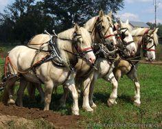 American Cream Horses