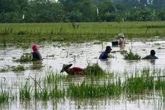 In the padi field... Google Search