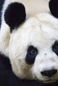 Another of my favourite animals the majestic Panda (Foto von Stuart Robertson Reynolds)