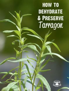 How to dehydrate, freeze, and preserve tarragon - whether you grow it in your backyard herb garden or buy it fresh from the produce section, tarragon is easy to preserve and makes a tasty addition to your food storage! via @momwithaprep