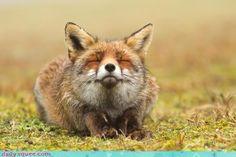 Fox in bliss
