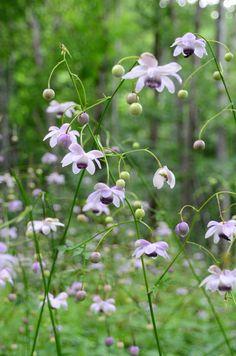 レンゲショウマ Anemonopsis macrophylla