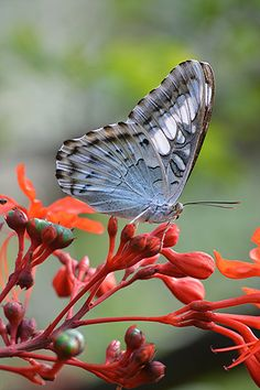 Closed-wing Blue Clipper on red-stemmed Glorybower