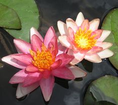 Nymphaea 'Indiana'  Nymphaea 'Indiana' Nymphaea 'Indiana'  Nymphaea 'Indiana'    Indiana is a hardy miniature/dwarf two colour single. It's flowers vary from an apricot colour to a true pink, and change between those colours as they age. It is one of the hardier and earlier miniature water lilies and an excellent plant for smaller ponds.  Quantity:  Out of StockUnavailable, out of season or out of stock    Price: $15.00