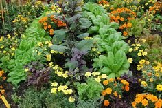Here's a garden that utilizes companion planting, something I intend to try in our little vegetable patch this year.  I love how everything looks jumbled and natural.