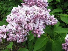 French Lilac - Montaigne