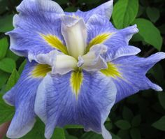 Iris (Iris ensata 'Blues Revisited') uploaded by PollyK