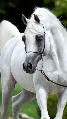 Major Jamaal (Soho Carol x Maya El Jamaal) 2001 grey stallion bred by Douglas Corp, US Beautiful Arabian Horses, Most Beautiful Horses, Majestic Horse, All The Pretty Horses, Animals Beautiful, Arabian Beauty, White Horses, Mundo Animal, Horse Pictures