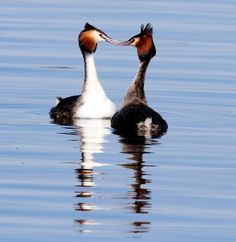 Norfolk Wildlife Trust - Gallery. Great crested grebes at NWT Ranworth Broad on 11/03/2012. Contributed by: Barry Madden.