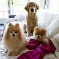 Buddy, Boo and their brother Great Pictures, Dog Pictures, Cute Puppies, Cute Dogs, Boo And Buddy, World Cutest Dog, Cute Little Dogs, Meeting New Friends, Kittens