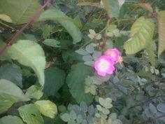 Mixed native hedgerow with Rosa canina